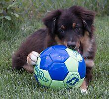 Australian Shepherd Pup by Cathy Donohoue