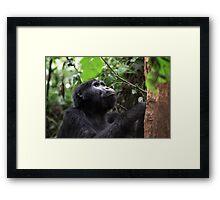 Gorilla in Bwindi, Uganda Framed Print