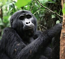 Gorilla in Bwindi, Uganda by Suzy Harrison