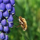 Bee-fly  Feeding. by relayer51