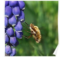 Bee-fly  Feeding. Poster