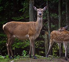 Red Deer Doe And Fawn by Michael Cummings