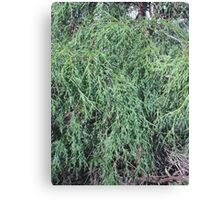 Weeping Evergreen Canvas Print