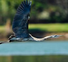 Great Blue Heron Fully Extended by Joe Jennelle