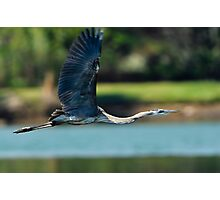 Great Blue Heron Fully Extended Photographic Print