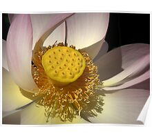 Botanic Gardens Lotus Poster