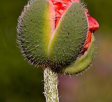 Flower bud detail by StefanFierros