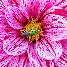 Dahlia and virescent green metallic bee by alan shapiro
