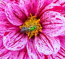 Dahlia and virescent green metallic bee by alan shapiro