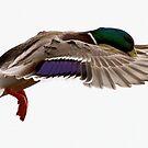 A Mallard Duck in flight by DJ-Stotty