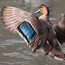 Eurasian Teal Duck by DJ-Stotty