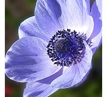 Anenome Photographic Print
