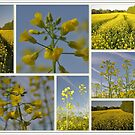Canola Fields by lynell