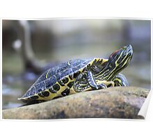 Turtle Stretching its Neck Poster