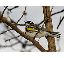 First Warbler of the Season (Yellow-rumped Warbler) Photographic Print