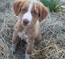 Nova scotia duck tolling retriever puppy by littlewings