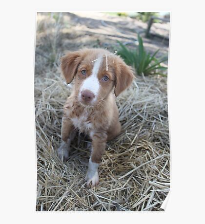 Nova scotia duck tolling retriever puppy Poster