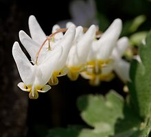 Dutchman's Breeches by Tim Devine