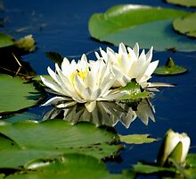 water lillies by Margaret  Shark
