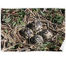 Killdeer Nest.... Poster