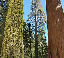 Giant trees in Kings Canyon by Amanda Huggins