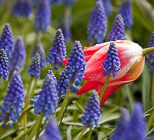 Candy Apple Tulip in a Bed of Grape Hyacinths by Mikhail Lenitsyn