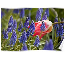 Candy Apple Tulip in a Bed of Grape Hyacinths Poster
