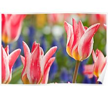 Candy Apple Tulips Poster