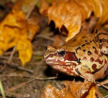 Meadows frog in the woods by qiiip