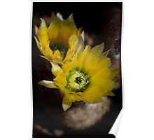 Yellow Cacti Flowers Poster