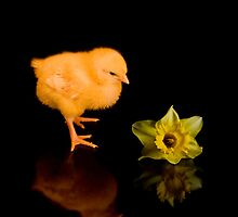 Easter Chick and Daffodil reflected by J-images