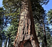 The California Tunnel Tree by Alex Preiss
