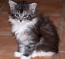 Sitting pretty - Maine Coon kitten by elainejhillson