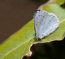 Holly Blue Butterfly by Gill Langridge