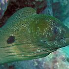 Moray eel after octopus meal  by Travis Graham