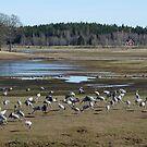 Cranes by Lake Hornborgasjön Sweden by HELUA