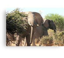 """Uneasy"" - African elephant (Loxodonta africana) Botswana Canvas Print"