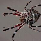 Arachnid by B.J. Robertson