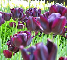 Purple Tulips by carolinagirl10
