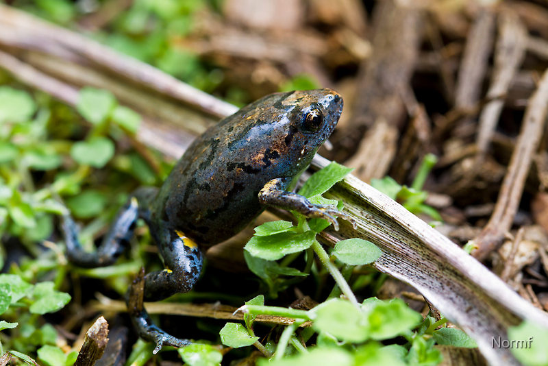 Dusky Toadlet, Uperoleia fusca ? by Normf
