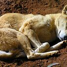 Dingo by Sarah Trett