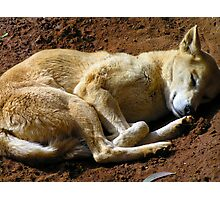 Dingo Photographic Print
