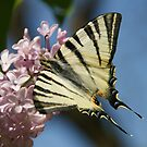 Sail Swallowtail by marens