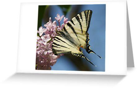 Sail Swallowtail by marens