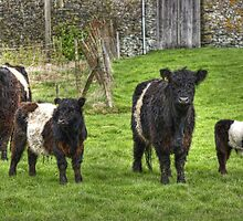 Belted Galloways.. by VoluntaryRanger