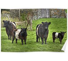Belted Galloways.. Poster