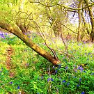 Bluebell Woods by Holly Daniels