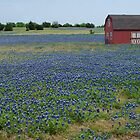 Red Barn Amongst The Blue Bonnets by Laughing Bones
