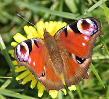 peacock butterfly 2 by anfa77