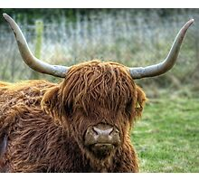 A Highland Coo! Photographic Print